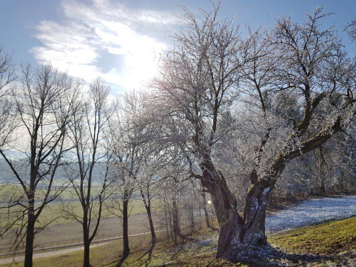 Birnbaum in Winterlicher Landschaft