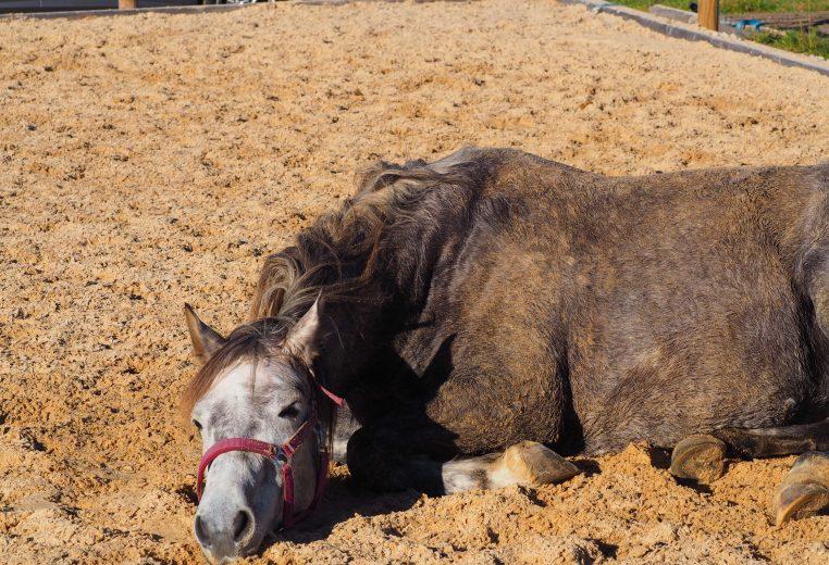 Sich wälzendes Pferd