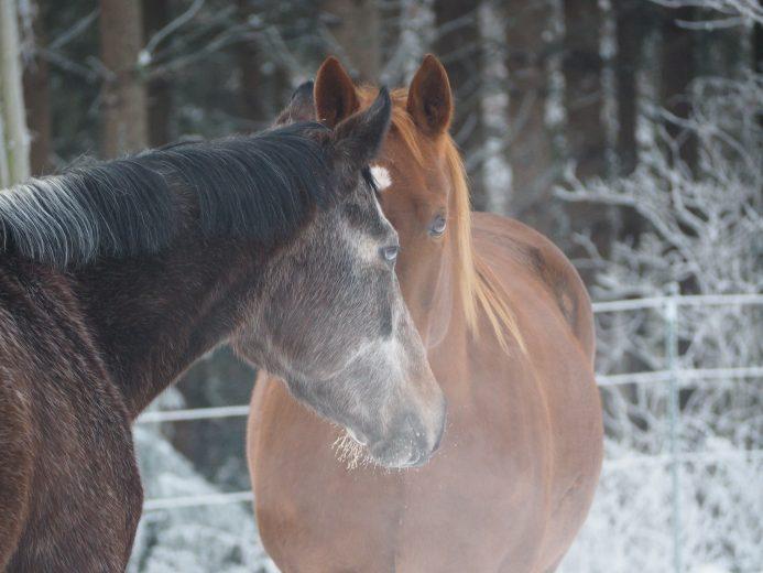 2 Pferde Nase an Nase im Winter